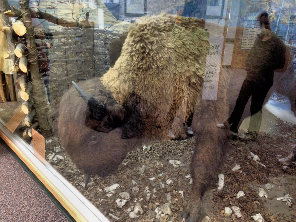 Buffalo in the interpretive centre at Buffalo Pound Provincial Park